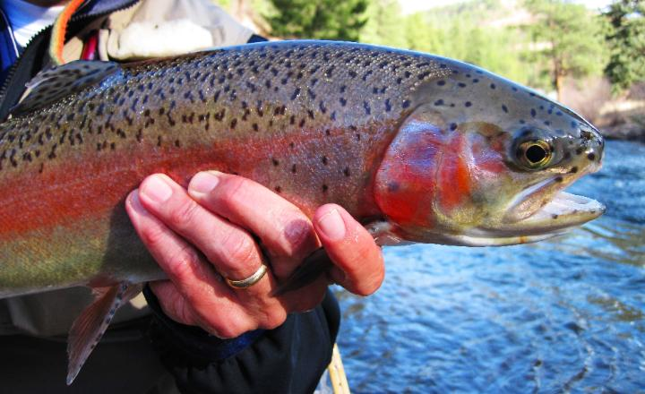 Denver fishing fly fishing denver information denver fly for Plenty of fish denver